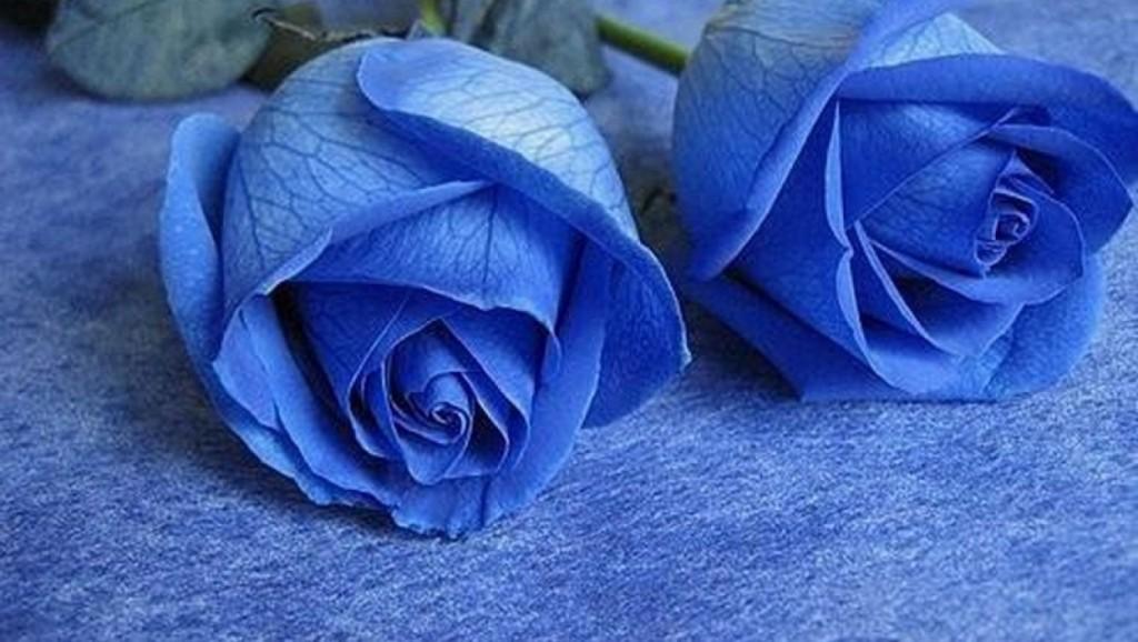 hoa-hong-xanh-dep-tang-nguoi-yeu-ngay-valentine-9