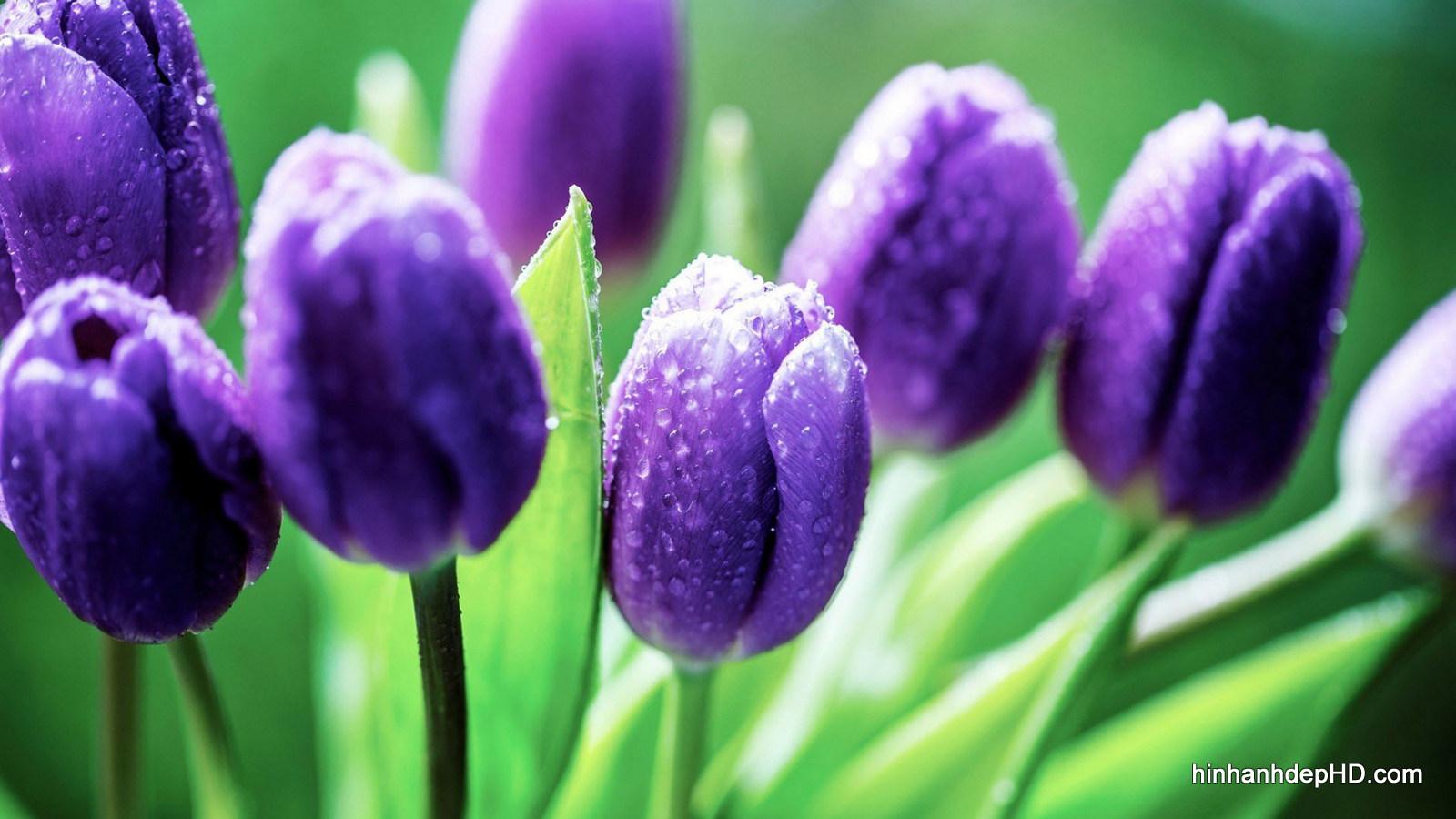 anh-dep-hoa-tulip-2