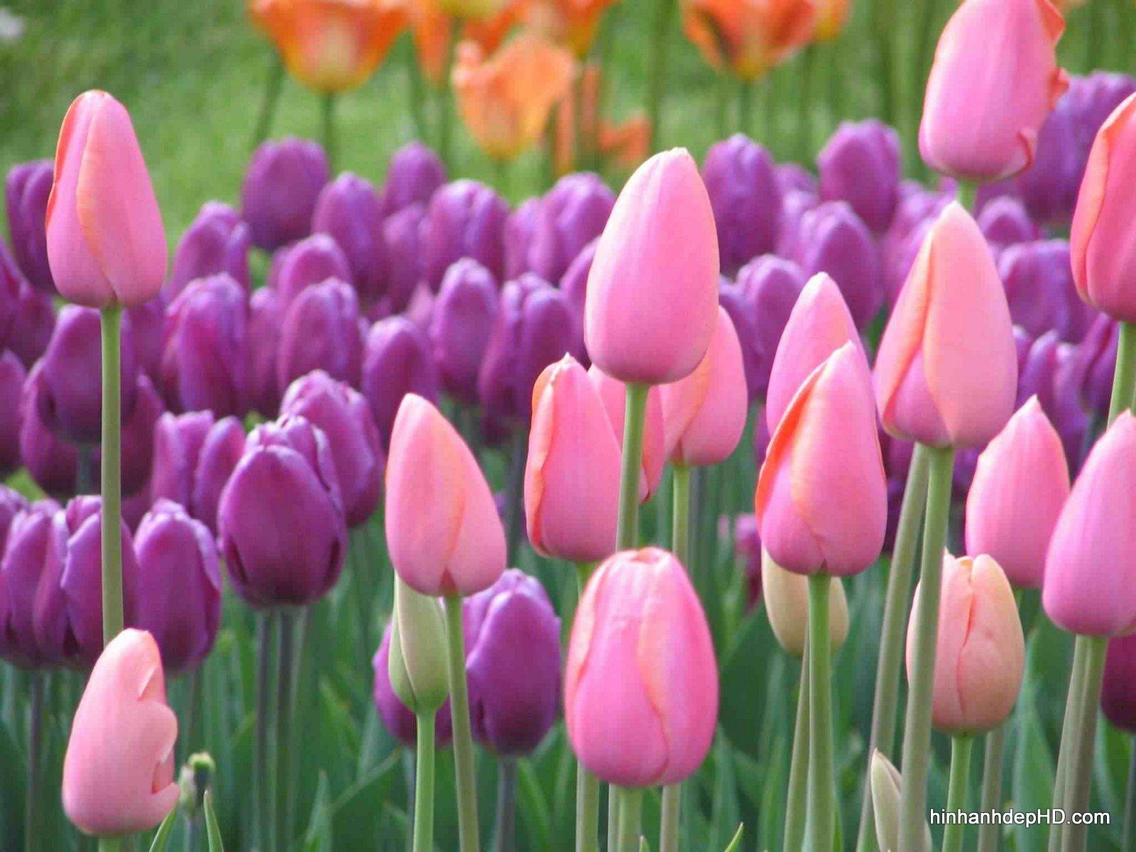 anh-dep-hoa-tulip-3823-14-