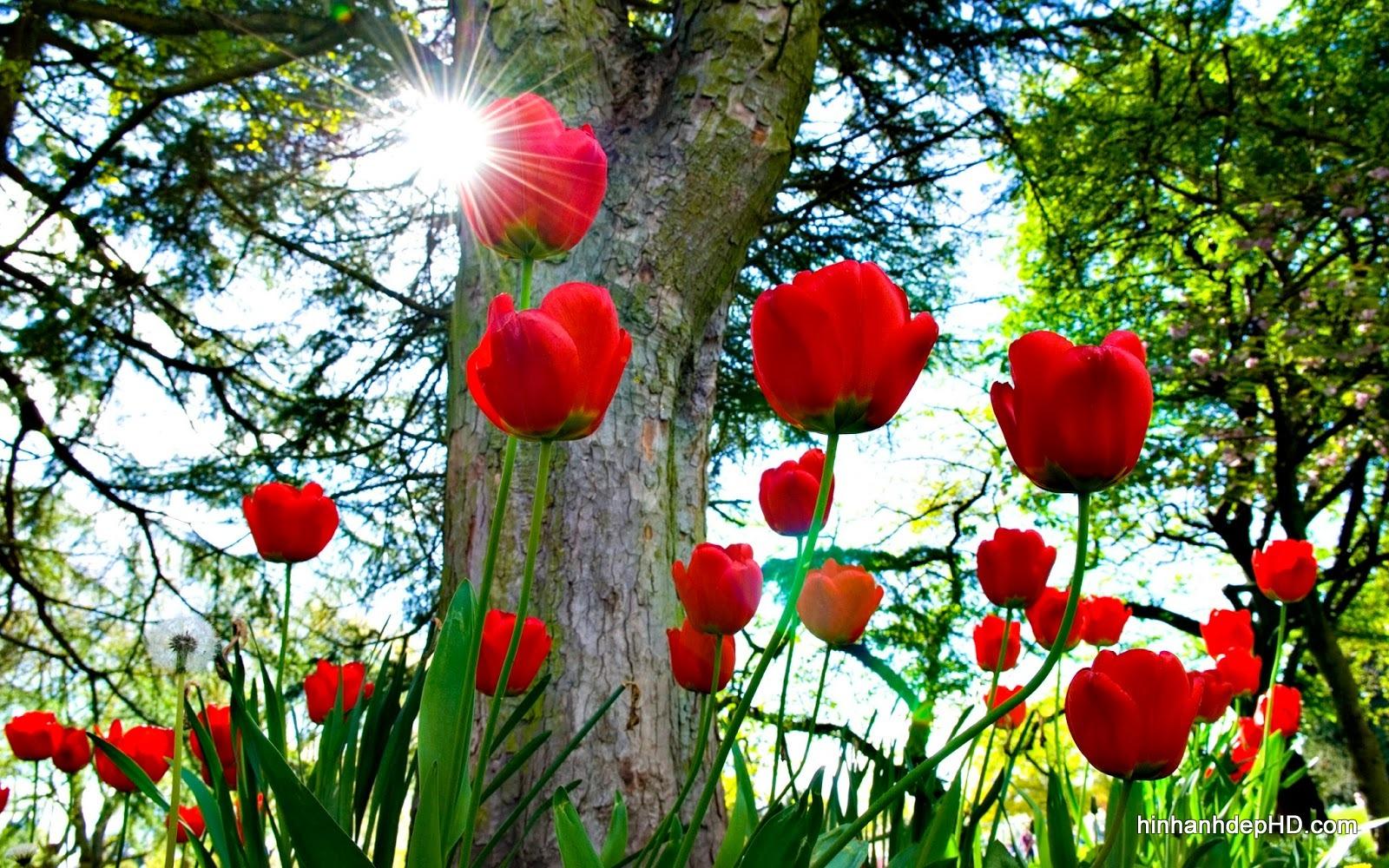 hoa-tulip-1