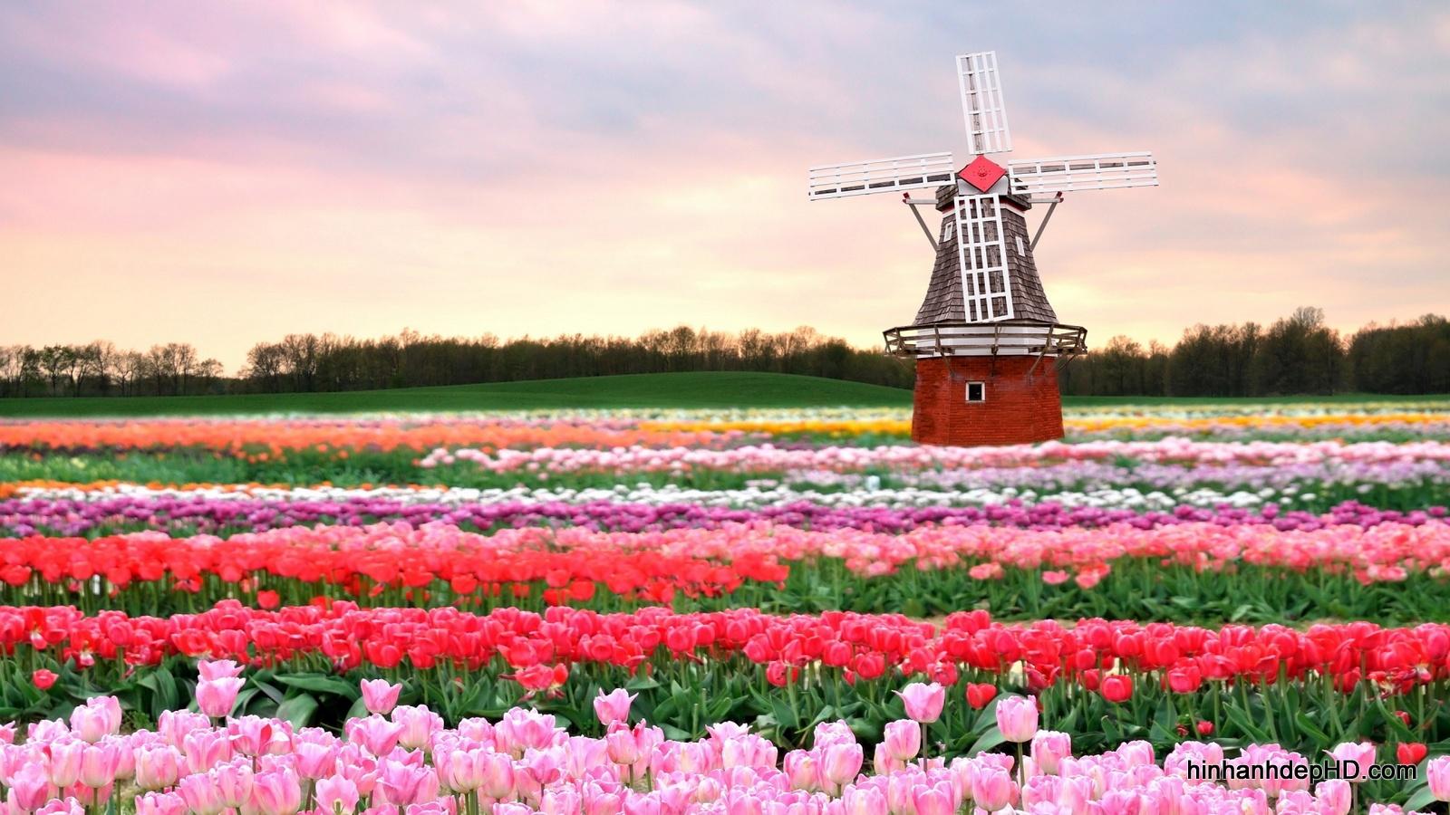 hoa-tulip-10