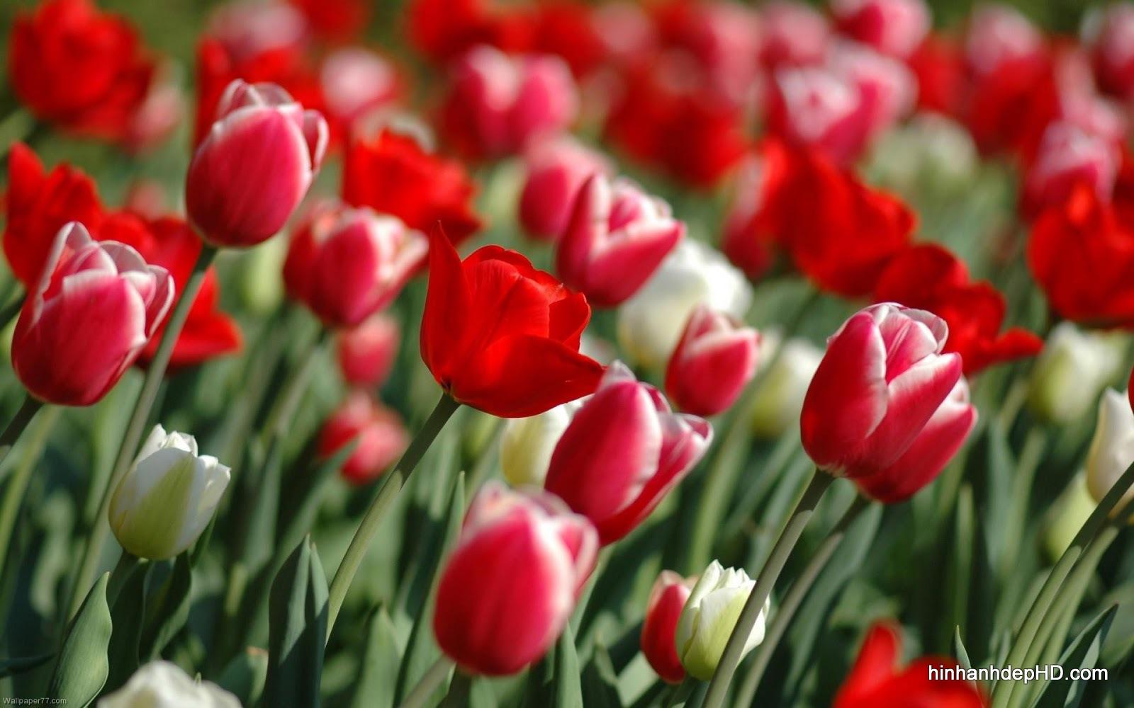 hoa-tulip-3