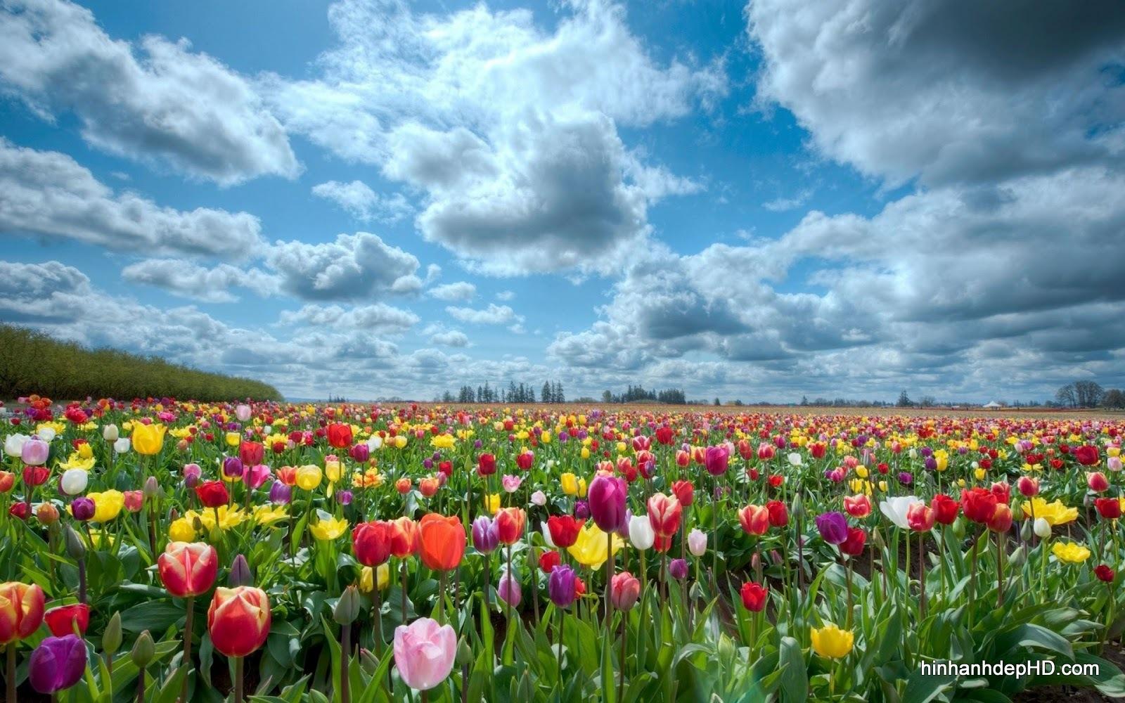 hoa-tulip-4