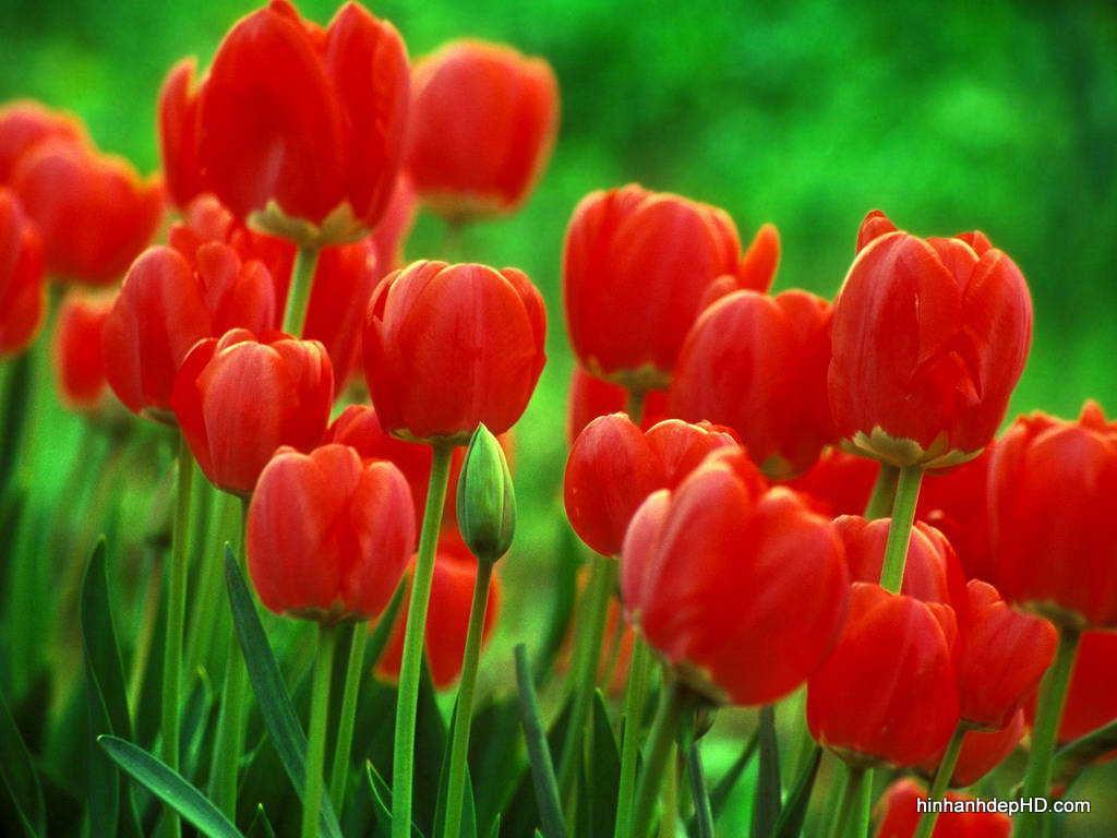 hoa-tulip-6