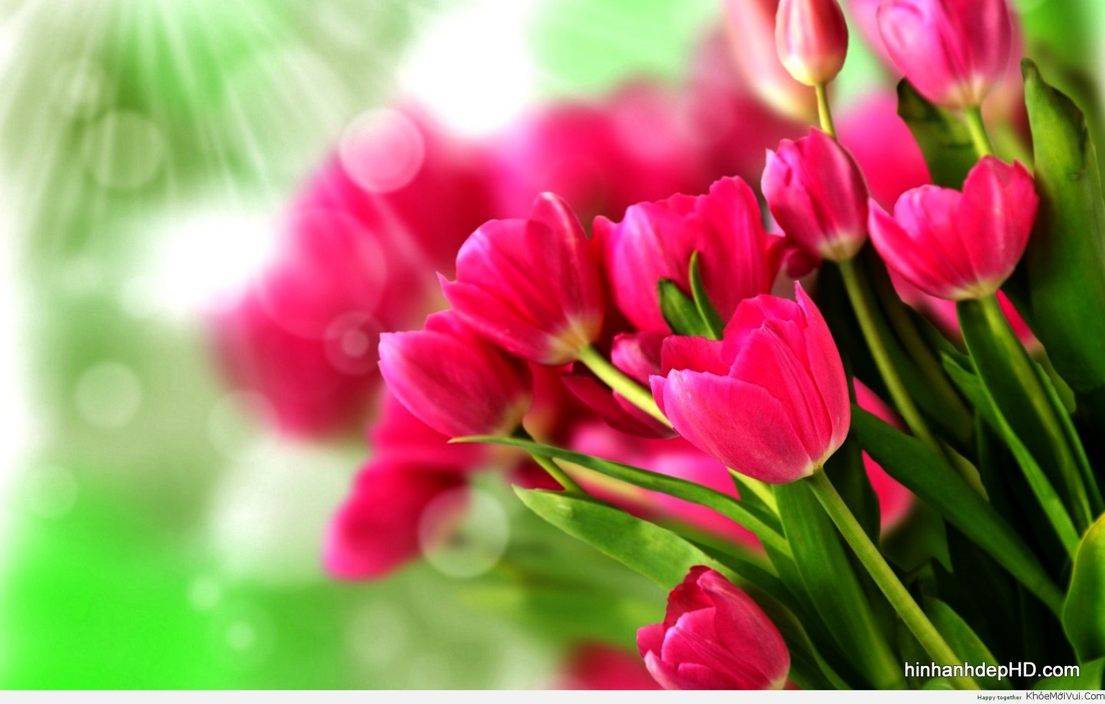 hoa-tulip-7