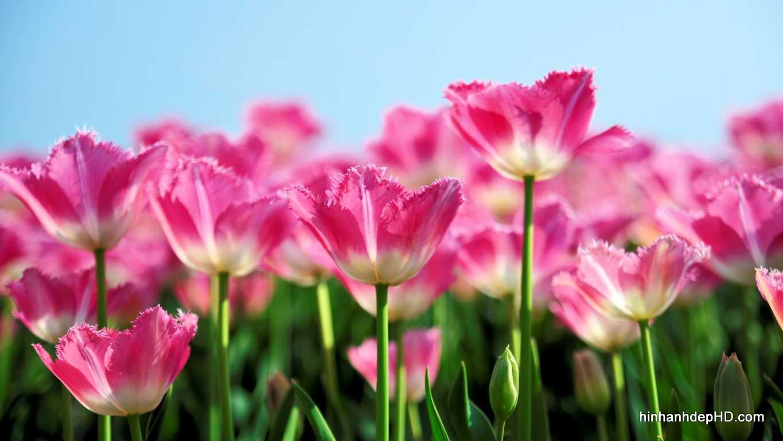 tai-hinh-nen-hoa-tulip-dep-cho-may-tinh-037-3