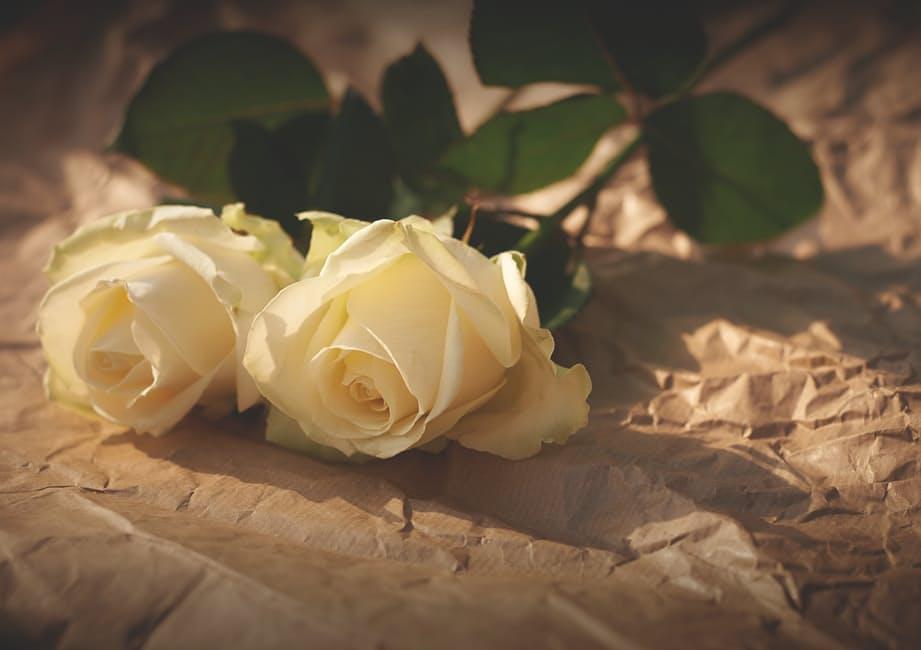 hoa hồng trắng với sự ngây thơ duyên dáng