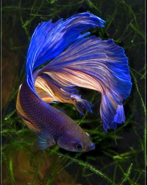 Tổng hợp hình ảnh cá lia thia, cá betta đẹp nhất