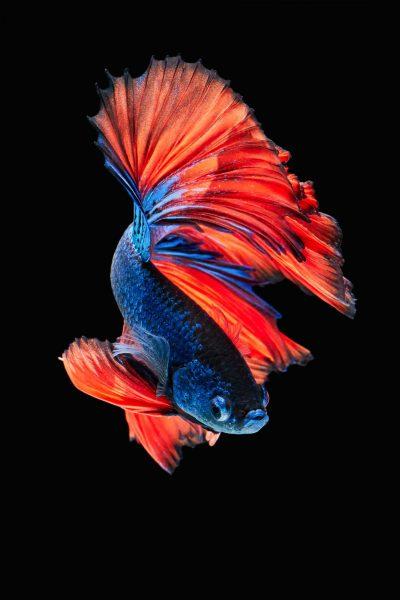 Tổng hợp hình ảnh cá lia thia, Cá xiêm, cá betta đẹp nhất